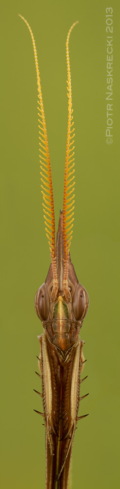 A portrait of a male empusid Idolomorpha dentifrons from Gorongosa National Park, Mozambique. This photo is a composite of four vertical frames.