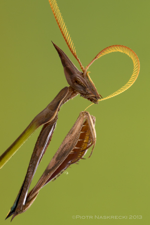 Male empusid (I. dentifrons) cleaning his pectinate antennae.