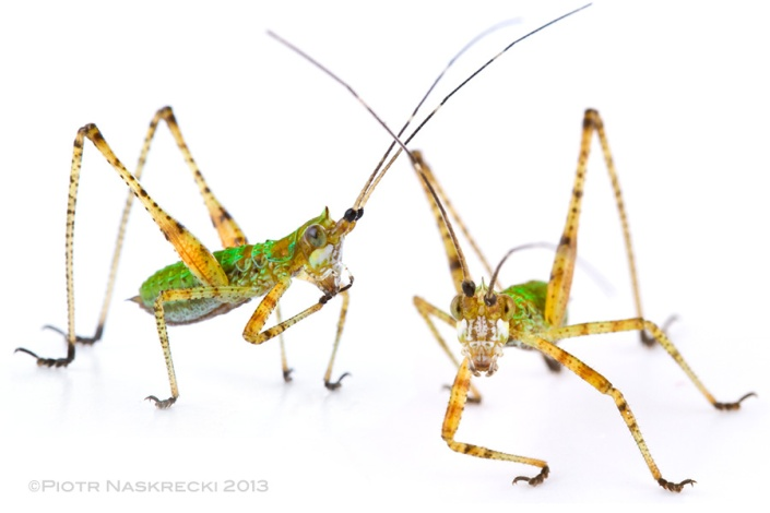 "Nymphs of bush katydid can be recognized by their bright, emerald green coloration and the presence of a small ""cone"" on the head."