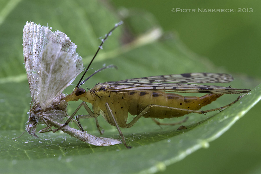 A female scorpionfly feeding on a dead moth. Unlike their close relatives, hanging scorpionflies (Bittacus), members of the genus Panorpa usually feed on insect carrion rather than trying to catch live ones.