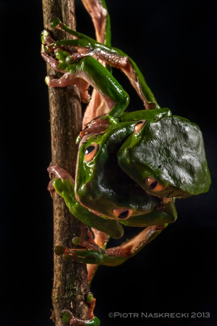 A pair of Giant leaf frogs (Phyllomedusa bicolor) from Suriname, which I mistook for a four-eyed chimera.
