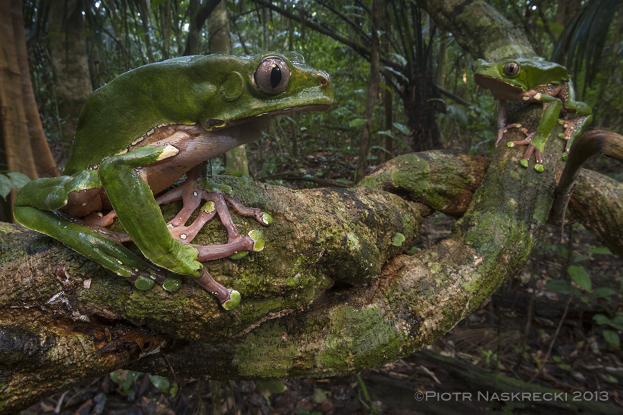 A female and a male of P. bicolor from southern Suriname.
