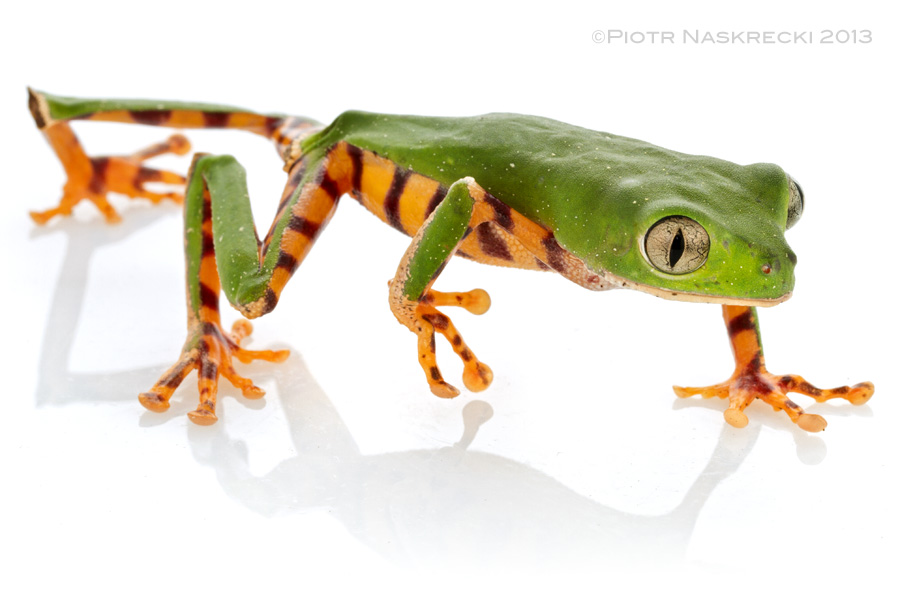 Tiger monkey frog (Phyllomedusa tomopterna) from Suriname.