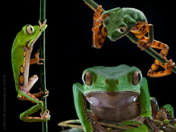 Three species of Leaf frogs (Phyllomedusa) found in Suriname (from the left clockwise): P. vaillantii, P. tomopterna, and P. bicolor. These frogs are also known as monkey frogs, on the account of their grasping hands and the ability to run up vertical lianas.