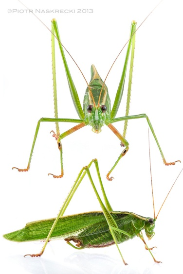A male Treetop bush katydid (S. fasciata) from Woburn, MA.