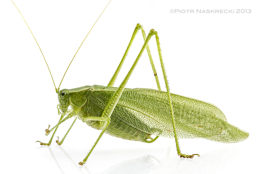 "The counting katydid, Scudderia pistillata – males of this species add one syllable to each subsequent ""click"", and the male with the highest number of syllables has the highest chance of attracting a female. This individual is from Sanbornville, NH."