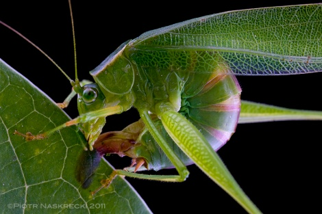 A female Fork-tailed bush katydid (S. furcata) from Boston ovipositing between the two layers of a leaf's epidermis.