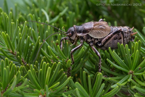 The Greater Grig (Cyphoderris monstrosa) from the Pacific Northwest.