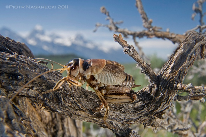 The Sagebrush grig (Cyphoderris strepitans) from Wyoming is found low to the ground in sagebrush meadows of the Rockies.