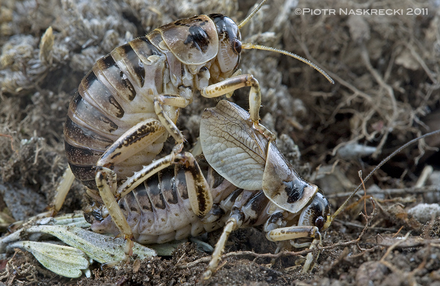 During mating the male locks the female in place on his back with an insidious trap on the tip of his abdomen. Female grigs are completely wingless.