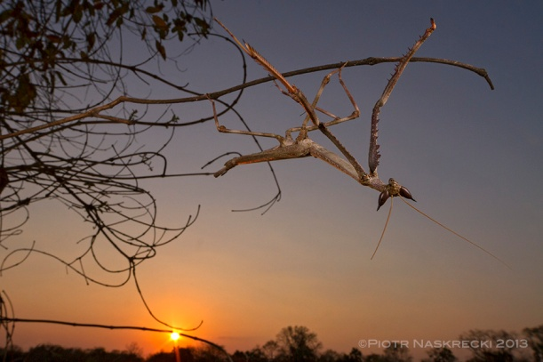 A male Cat mantis at sunset.