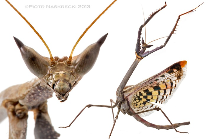 I decided to christen this impressive praying mantis (Heterochaeta orientalis) the Cat mantis, on the account of its head morphology, but even its defensive behavior reminds me of a cranky cat (is there any other kind?).