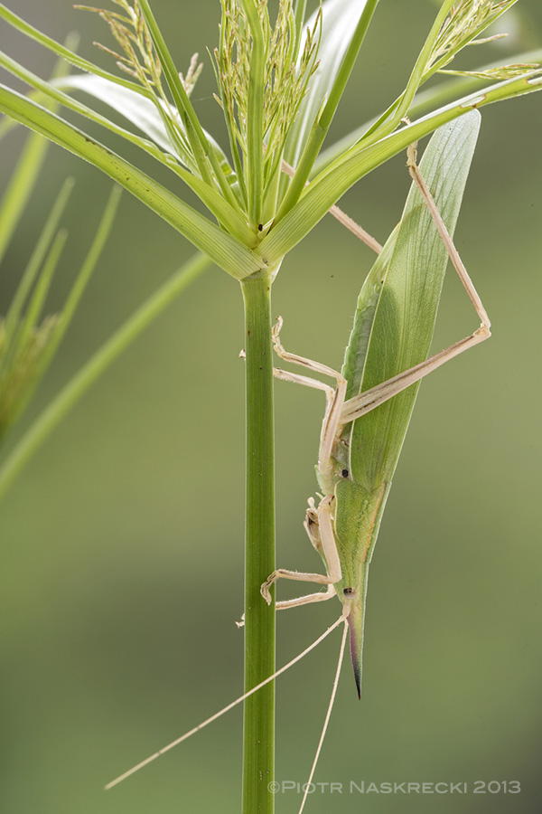 The body of the Conehead katydid Pseudorhynchus pungens looks just like a blade of grass and few predators can spot them.