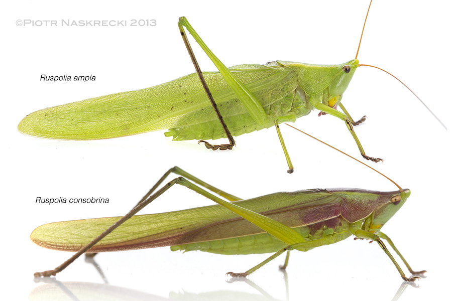 The genus Ruspolia is represented in Gorongosa by at least six species, some of which may be new to science. R. consobrina is one of few katydids that are routinely eaten by people in Africa.