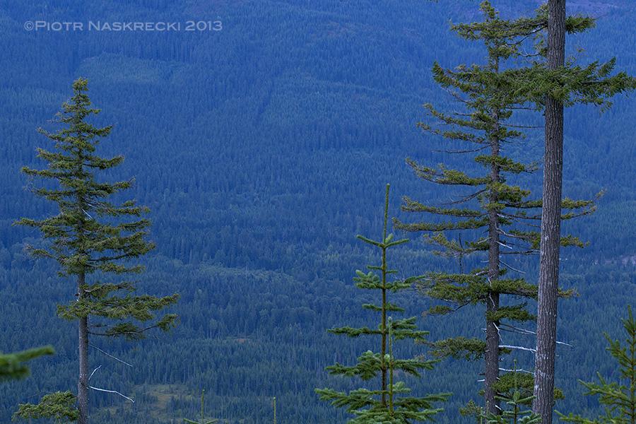 Tall Mountain hemlock (Tsuga mertensiana) are the preferred singing perches of C. monstrosa.