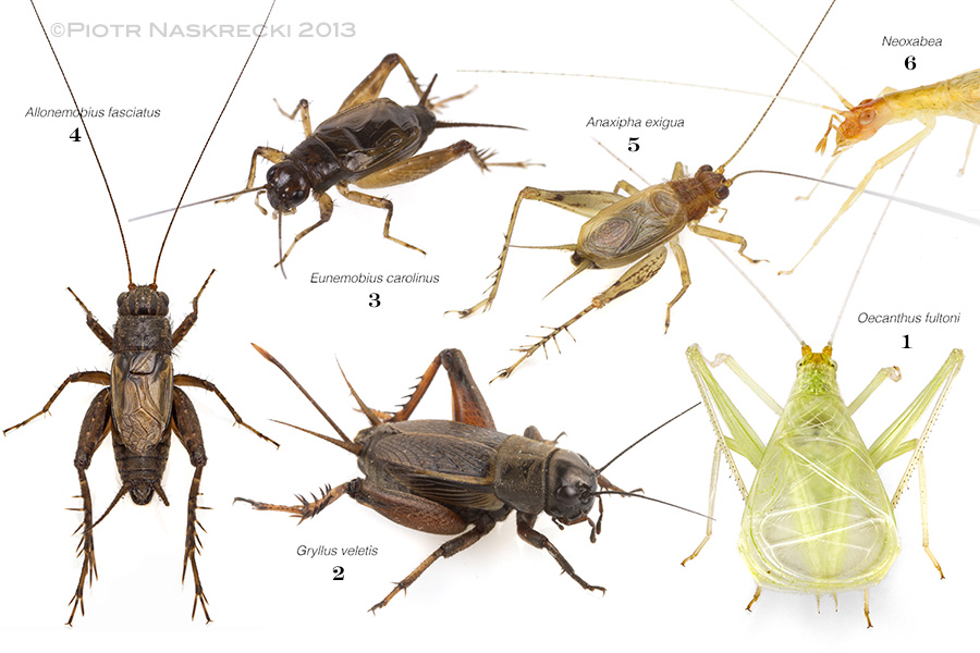 Some of the cricket species I recorded in or near my garden. The number under each name represents the sequence of joining the musical performance in the composite recording below.