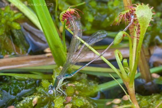 Even an insect as big as a damselfly can fall victim to a sundew.