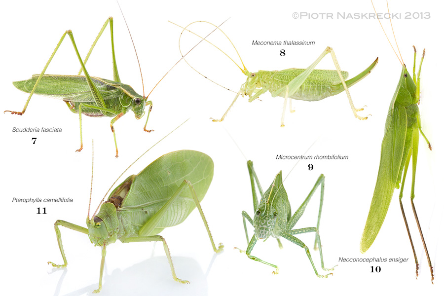 Some of katydid neighbors. Just like with the crickets, the number under each name represents the sequence of joining the musical performance in the composite recording below.