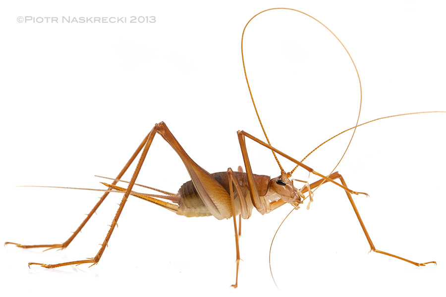Female cave cricket Mayagryllus apterus, a species endemic to the Caves Branch system of Belize.