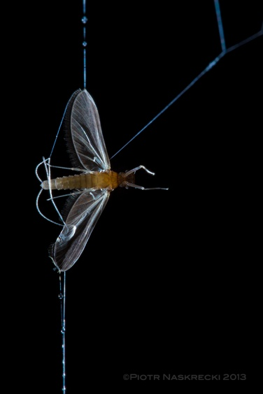 The strands are covered with droplets of oxalic acid, which trap and kill unlucky insects, such as this mayfly, that brush against them in flight.