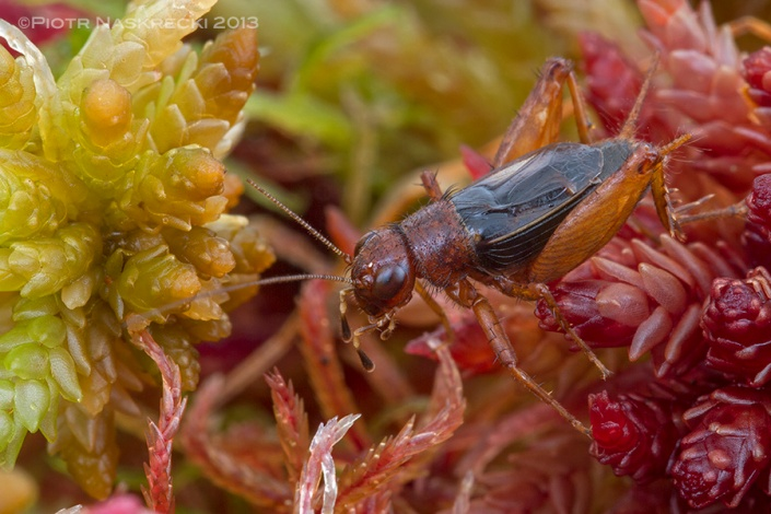 Sphagnum ground cricket (Neonemobius palustris) from Ponakpoag Bog, MA.