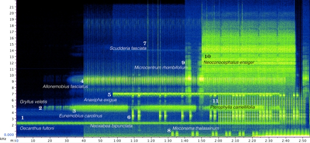 A sonogram of a composite recording of most of the orthopteran species singing in my garden. On a good night I can hear them all, but here I decided to add them one by one to the recording to make each species' song stand out. Click here to listen to this soundscape. Please note that some species (esp. Scudderia and Microcentrum) may not be audible to a certain group of listeners (I am talking about you, men 35 or older; I count myself incredibly lucky for still being able to hear all my local species – but who knows for how long). It will help if you listen to this recording through headphones or external speakers; most built-in computer speakers may not be able to reproduce all frequencies (esp. the low frequency drumming of Meconema). (If you would like to see an animated sonogram with species names appearing as they join the chorus, click here; it is a large file, suitable only for a fast connection.)