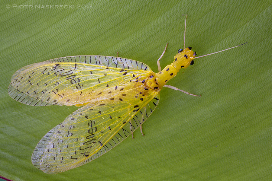 One of the few colorful members of the order Megaloptera, a Costa Rican dobsonfly Chloronia sp.