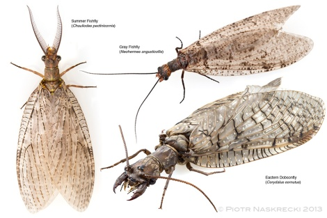 Three species of hugewings common in New England.
