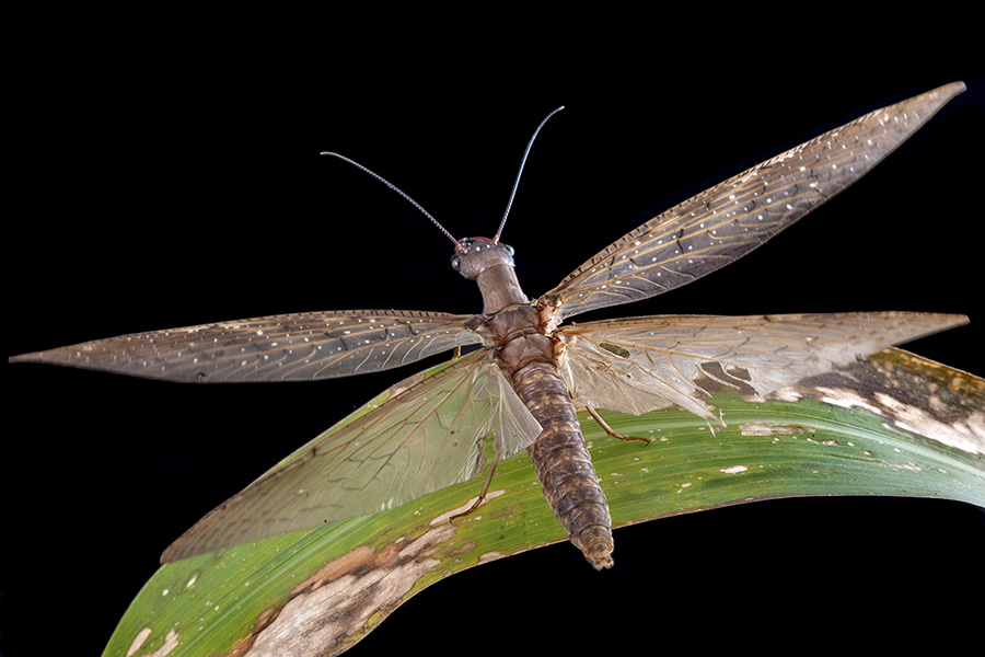 A female dobsonfly taking off from a leaf at night in Tapanti National Park in Costa Rica.