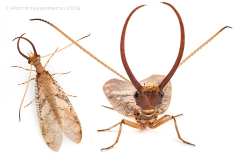 The enormous mandibles of a male dobsonfly (Corydalus)look like formidable weapons, but they are not. The males use them only in ritualized combat with other males and are too weak to use them to pinch or hurt anybody.