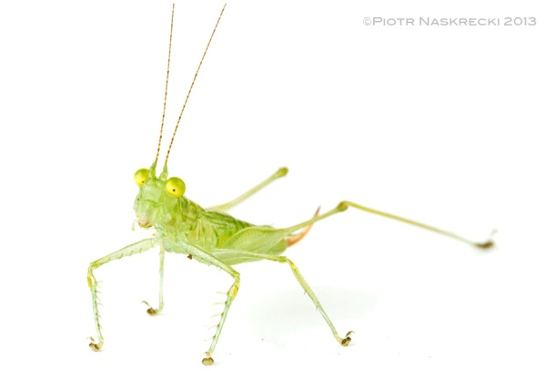 Their huge eyes are a good indication of Glass katydids' mode of hunting – they are diurnal sit-and-wait predators of small flies and other soft insects. This newly discovered, yet unnamed species from Costa Rica hunts small flying insects along the edges of mid-elevation rainforest.
