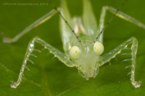 As they age, Glass katydids begin to lose their transparency, and older nymphs and aduls acquire pale green coloration.