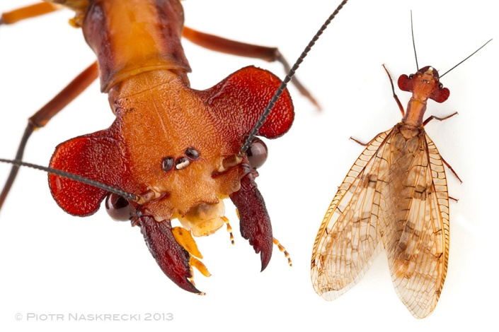 The function of the large lobes on the head of Central American dobsonfly Platyneuromus soror is a complete mystery.