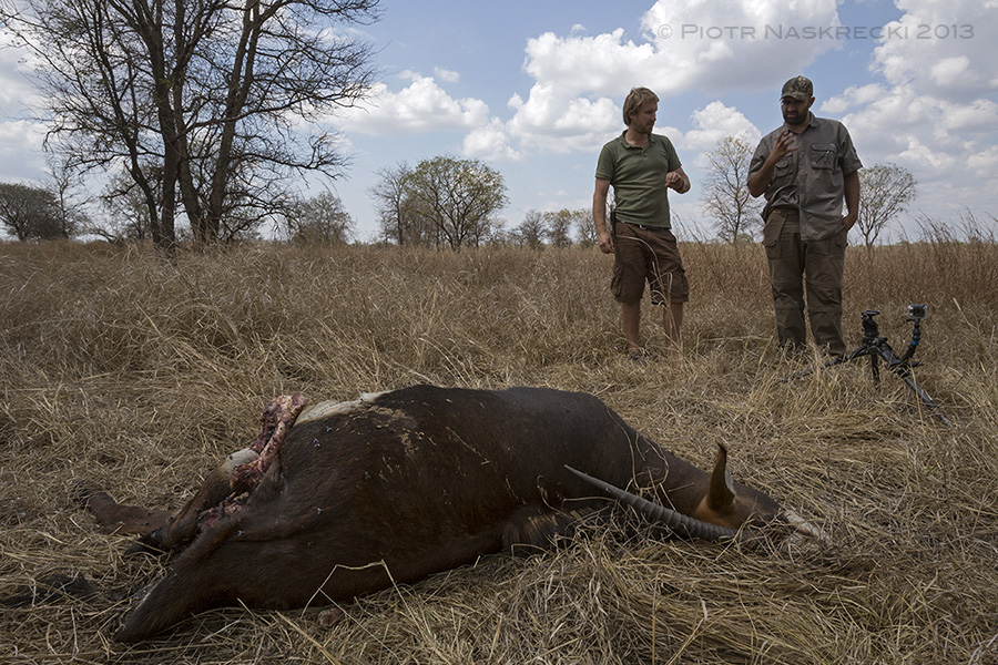 After following a radio-collared lion, Gorongosa veterinarian Rui Branco (right) lead us to a freshly killed sable antelope.