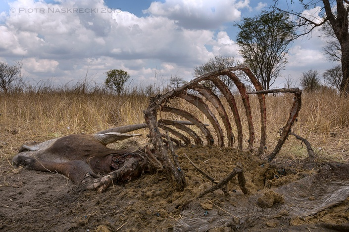 Thirty minutes later all meat has been stripped from the antelope's carcass, leaving only bones, pieces of skin, and the stomach content.