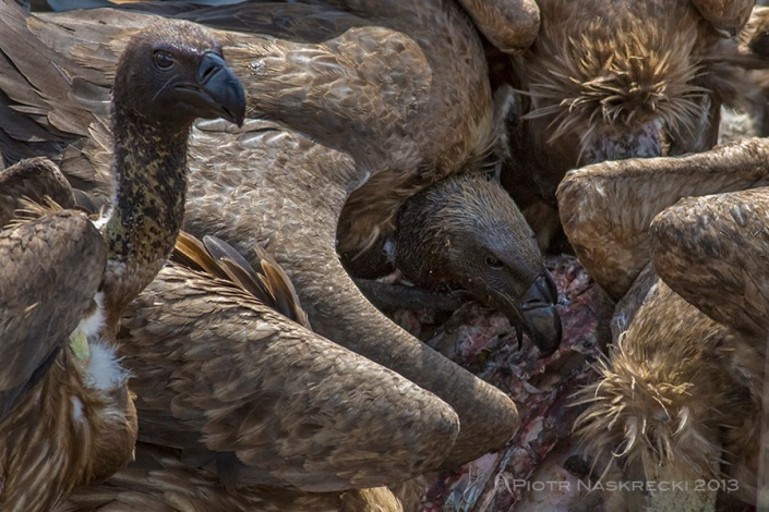 We tell ourselves that vultures are ugly and disgusting, but I think we are just jealous of their superior abilities and survival skills.