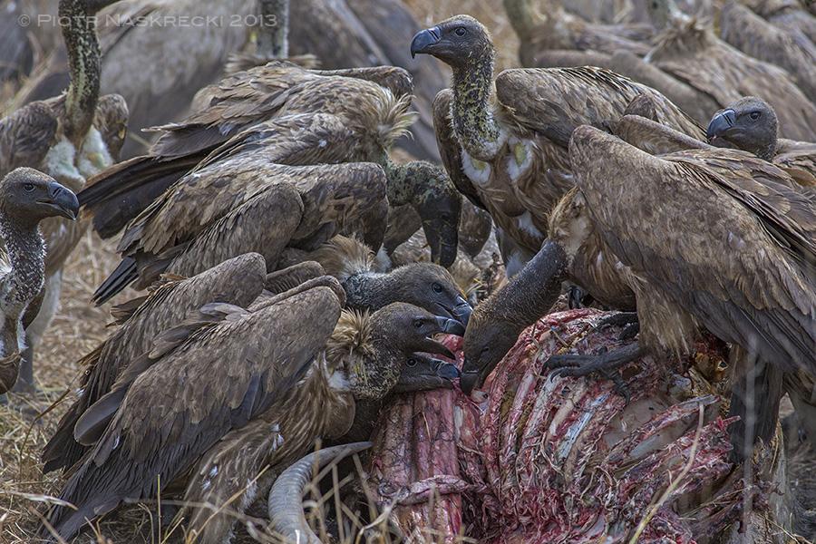 Vulture Eating Dead An...