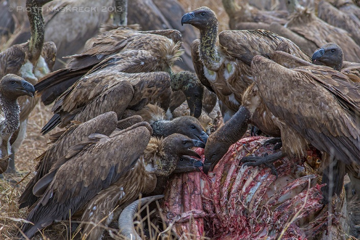 Once the lions had left about fifty White-backed vultures (Gyps africanus) descended onto the carcass.