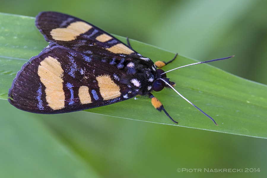 An unidentified, aposemtically-colored tiger moth found on the same plants as Pardalota.