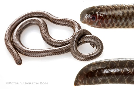 Peter's thread snake (Leptotyphlops scutifrons), the smallest snake in Mozambique.