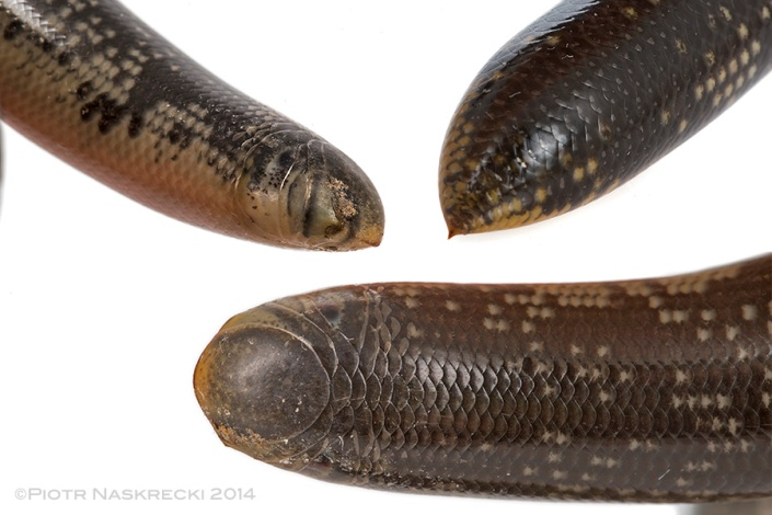 The morphology of the Giant blind snake (Megatyphlops schlegelii) reveals its perfect adaptation for subterranean life – there is no neck or distinct tail, which means that the animal can move as easily forward as backward in the underground tunnels; notice the sharp defensive spike on the end of the body.