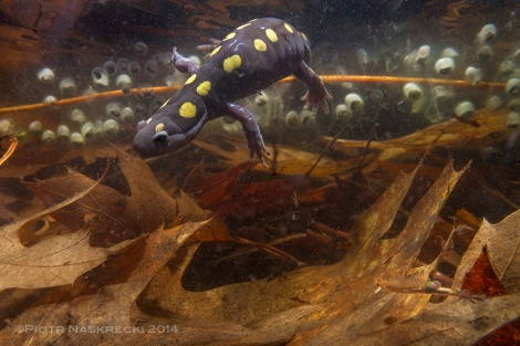 In the northeastern United States several species of salamanders, such as this Spotted salamander (Ambystoma maculatum) from Westfield MA, share vernal pools with the fairy shrimp.