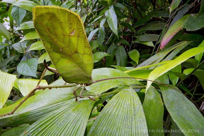 Wide-angle macro: Sylvan katydid (Celidophylla albiomacula)