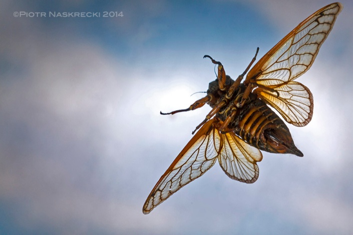 High-speed macrophotography: Periodical cicada (Magicicada septendecim)
