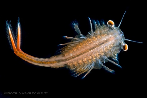 Male fairy shrimp (Eubanchipus vernalis).