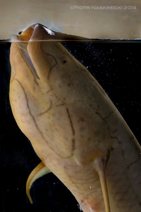 The sound of an early ancestor of this lungfish (Protopterus annectens) taking it first gulp of air signified a pivotal moment in the history of life on Earth. The emergence of this behavior, along with the development of four limbs, set the stage for the conquest of terrestrial habitats by vertebrates, and the evolution of all tetrapods.