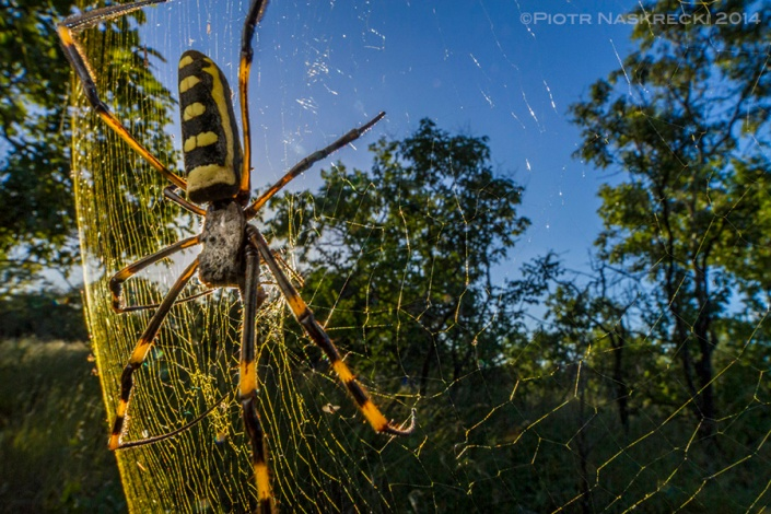 The golden orb-weaver (Nephila senegalensis) is one of the largest spiders of Gorongosa. Its name comes from the beautifully golden coloration of its silk.