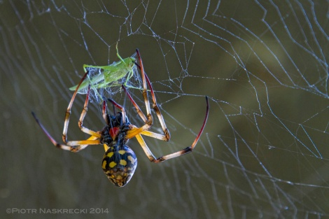 An unlucky katydid that flew into a web under the Hippo House is immediately killed and wrapped in silk by a female orb weaver.