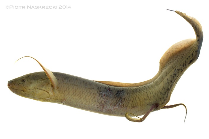 "If you think that this looks like walking that's because it is. Lungfish use their pelvic fins in a way very similar to that of a tetrapod's legs – the distal part of the fin becomes a ""foot"" and the fins produce both walking and bounding motions."