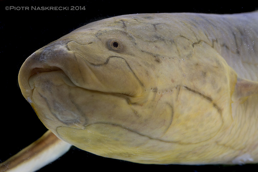 A portrait of the Southern African lungfish (Protopterus annectens brieni) from Gorongosa.